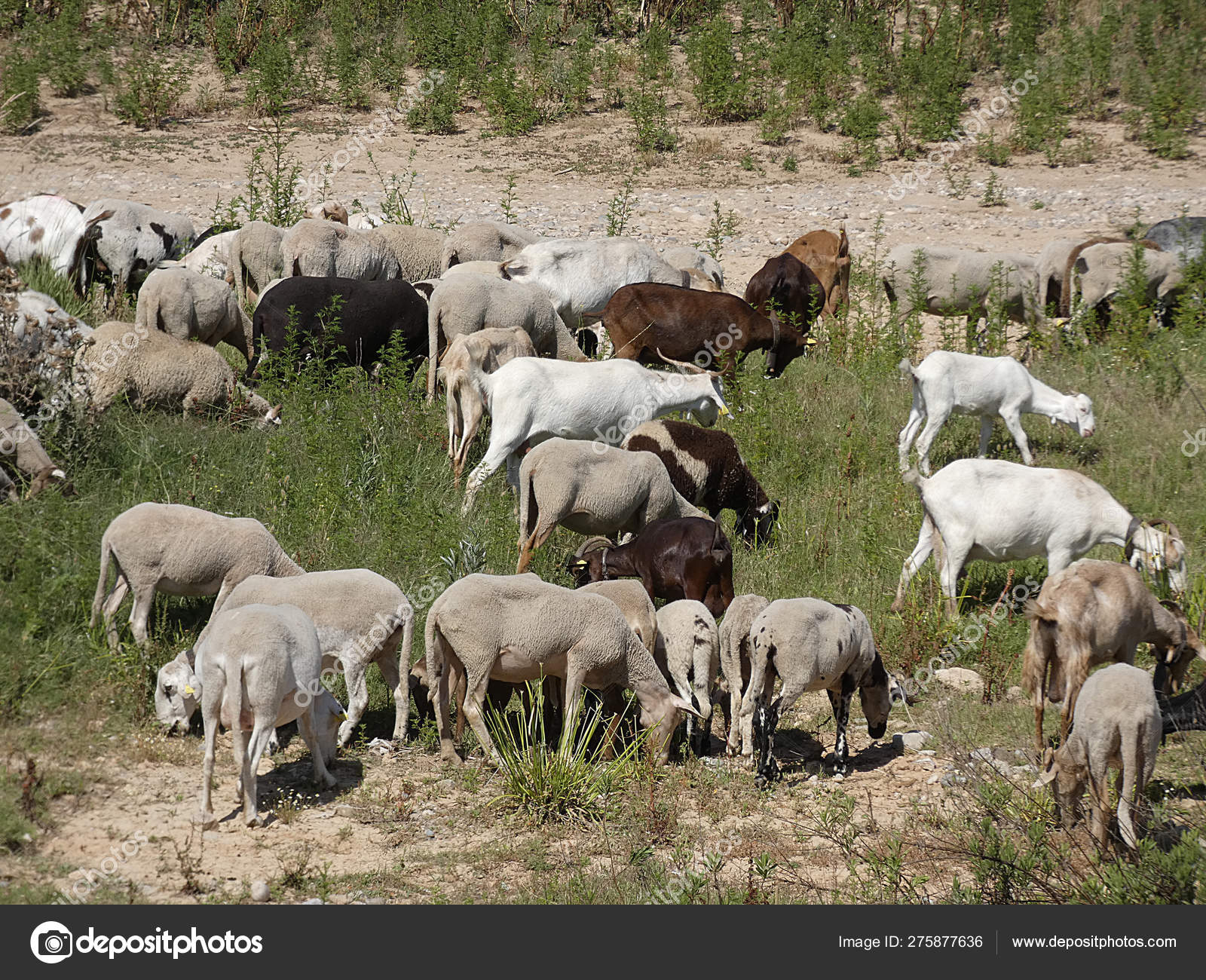 Goats Sheep Grazing Field Eating Herbs Accompanied Shepherd — Stock