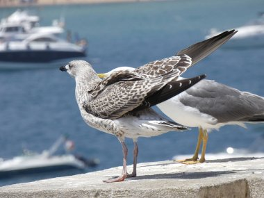 Young seagull chick, Young gulls have black beaks and dark brown feathers. Adult seagulls have much lighter plumage and yellow beak