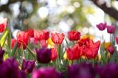 Szép virágzó tulipán, zöld levelek kertjében homályos háttérrel, Chiang Rai, park