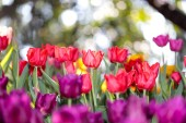 Színes és gyönyörű friss tulipán zöld levelekkel a parkban