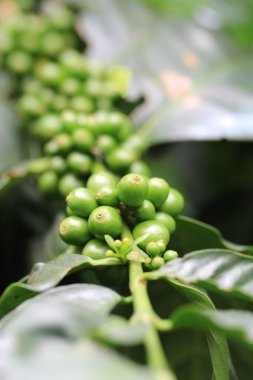 Fresh raw coffee beans on coffee plant in nature for making popular beverage