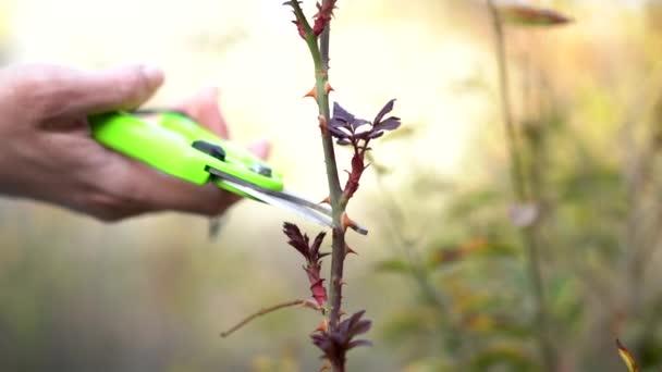 Man cares for the garden. Garden shears close-up pruned rose bush