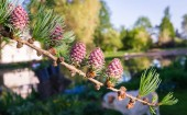 larch twig with red blooming small cones and new light green needles; background of blurred garden and sky