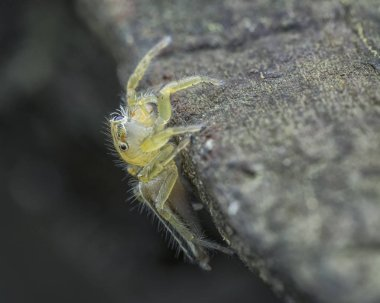 tiny yellow jumping salticidae
