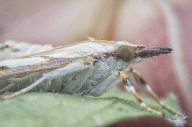 Cirrhochrista fumipalpis wild moth