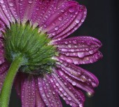 daisy flower after rain