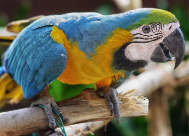 Brazilan parrot on the branch