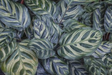 Calathea Makoyana leaf plant