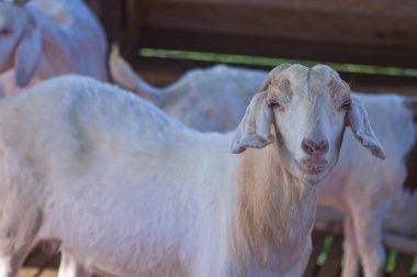 close up shot of goats at the farm