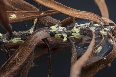 white waxy fuzzy mealybugs pseudococcidae.