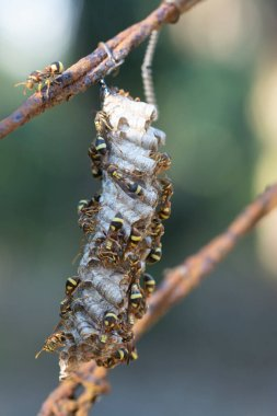 close shot of paper wasp bees and nest