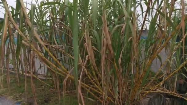 felvétel a cukornádszárak fürt bokorjáról