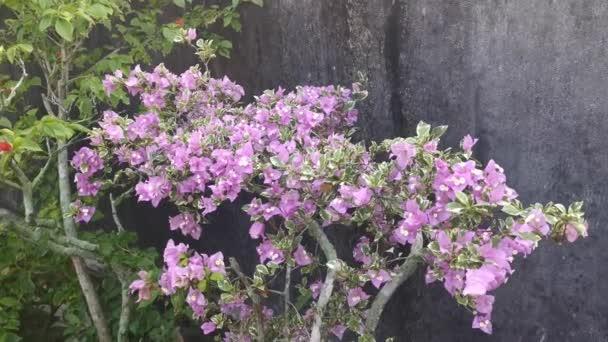 záběry barevných větví bougainvillea květin.