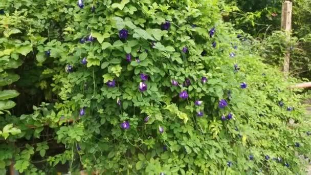 felvétel vad kék csikló ternatea virág