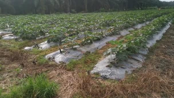 Footage of the ladyfinger vegetable farm