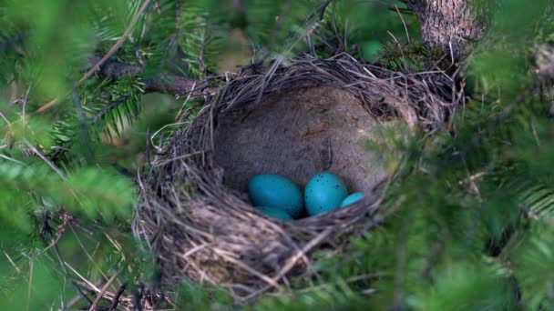 Énekes rigó fészek tojással