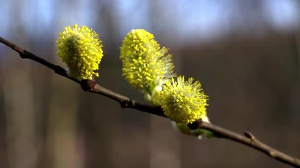 Pussy fűzfa-Salix cinerea a szél