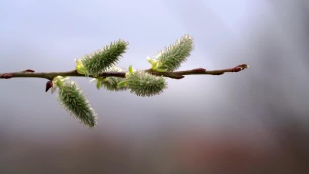 Pussy Willow-Salix cinerea on wind