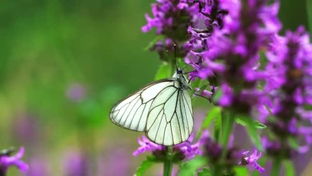 pillangó a virág vad