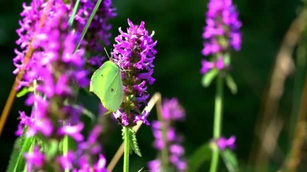 Táncoló pillangók a vadon élő virág