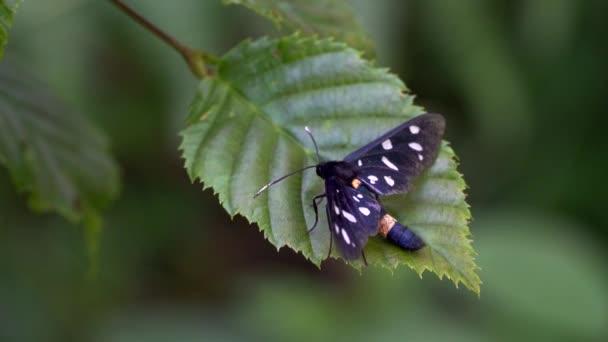 Férfi pillangó érinti a levél
