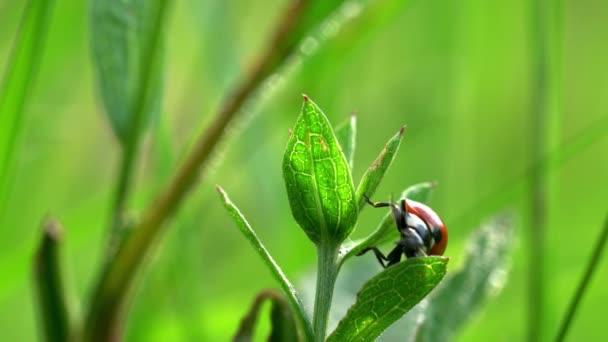 hét helyszínen katicabogár (coccinella septempunctata)
