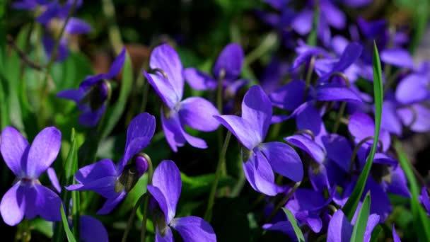 Wild Violet-Viola papilionacea in natural environment
