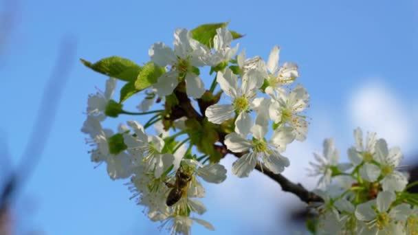 méhecske cseresznyevirágzás
