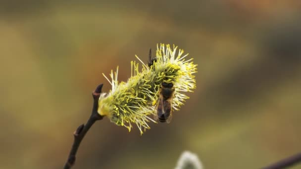 Punci fűz-Salix cinerea méhecske