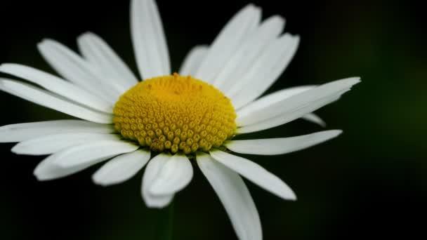Oxeye Daisy (Bellis perennis)