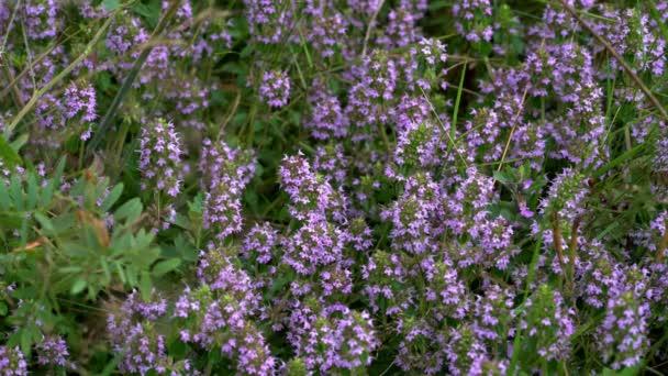 Szerves Breckland kakukkfű (Thymus Serpyllum)