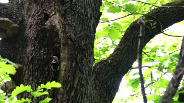Middle Spotted Woodpeckers (Leiopicus medius) brings food for the chicks to nest in tree