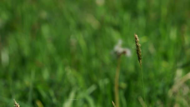 Man blowing in dandelion seeds (Taraxacum)