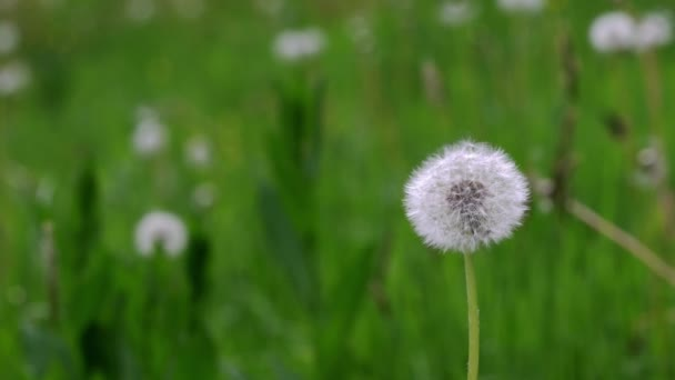 Wind blows away dandelion seeds (Taraxacum)