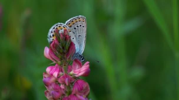 Pillangó a vadvirág a természeti környezet