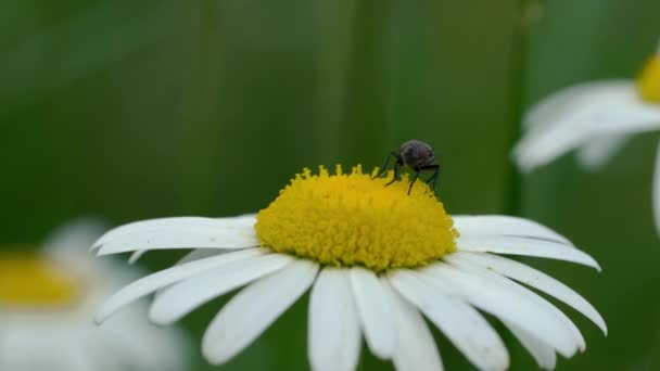 A Fly on Oxeye Daisy (Bellis perennis)