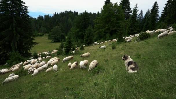 Ovce na hoře žahují trávu
