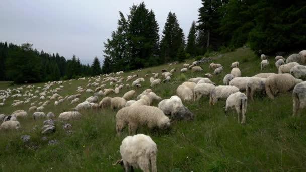 Schafe auf dem Berg weiden Gras