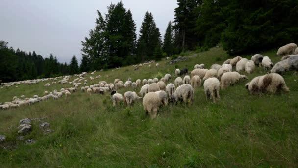 Sheep on the mountain graze grass