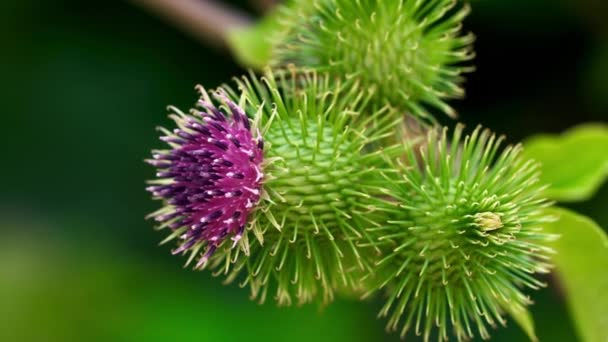 Bojtorján virágzik a könnyű szellő (Arctium lappa)