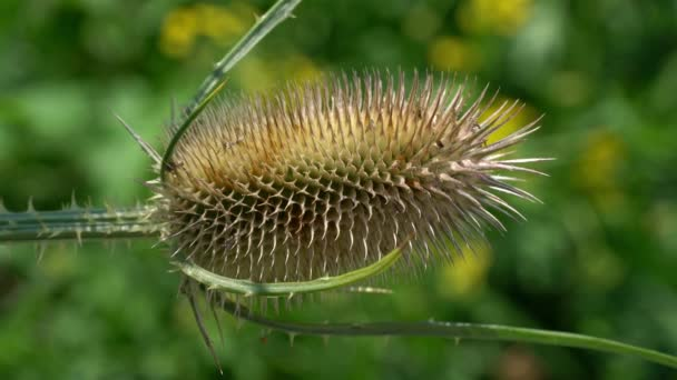 Kardszárnyú teáskanna enyhe szellőben (Dipsacus laciniatus)