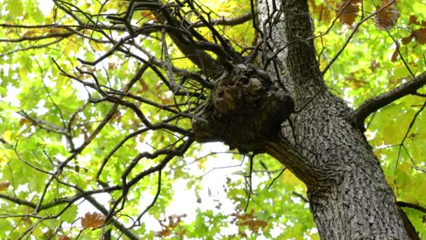 Velký výrůstek na větvi dubu