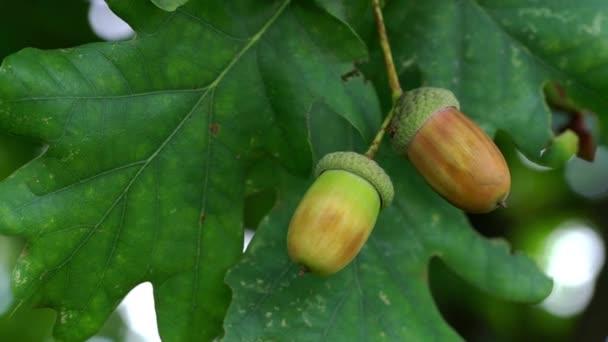 Ripening acorns oak on slight breeze