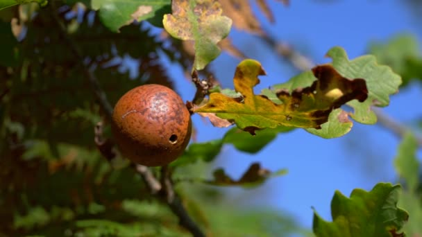 Gall on an Oak tree caused by a wasp larva Cherry gall (Diplolepis quercusfolii)
