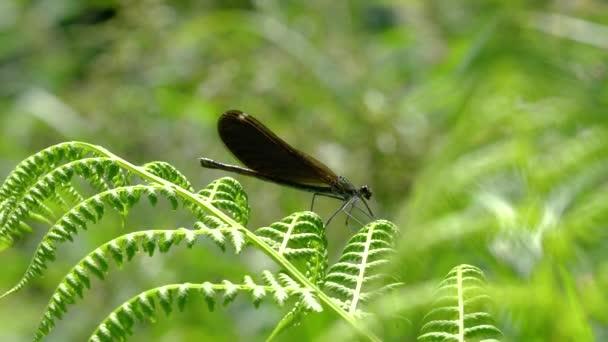 Szitakötő páfrányon, nőstény, zöld-barna, sávos Demoiselle (Calopteryx splendens)