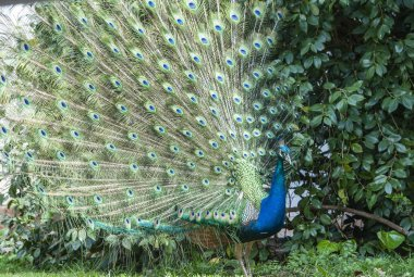 Indian Peacock or Blue Peacock, ( Pavo cristatus ), showing upright feathers in a fan and crest visible