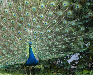 Indian Peacock or Blue Peacock, ( Pavo cristatus ), facing camera showing upright feathers in a fan and ready for courship