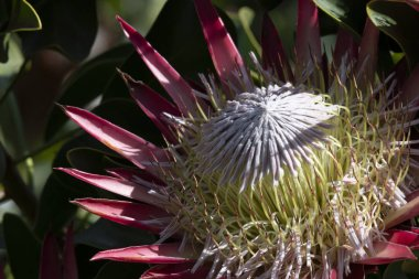 Single Protea, (Protea cynaroides) in natural light on pink petals with green shiny foliage leaves, centre of flower head very visible. South Africa
