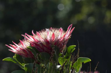 Single Protea, (Protea cynaroides) in natural light on pink petals with green shiny foliage leaves, South Africa