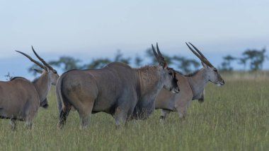 Group of common eland Taurotragus oryx , standing in green grass, looking right, with blue sky. Masai Mara, Kenya, Africa